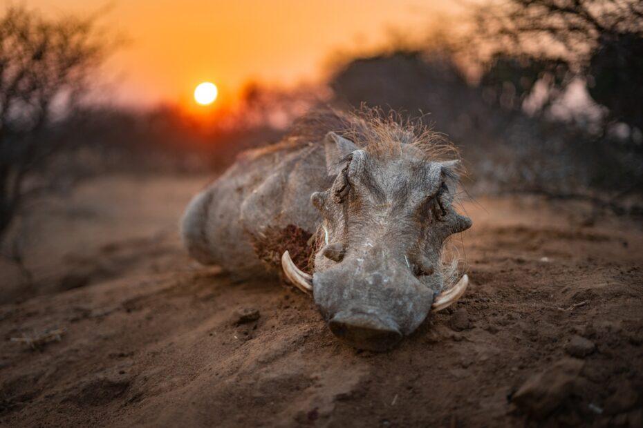 lov v africe warthog